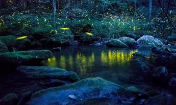 In the Appalachian firefly Photinus carolinus, flying males flash in synchrony with their neighbors, creating a symphony in light. Photo by Radim Schreiber.